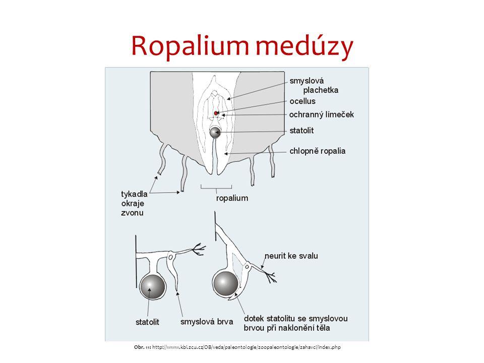 Ropalium medúzy Obr. 11: http://www.kbi.zcu.cz/OB/veda/paleontologie/zoopaleontologie/zahavci/index.php