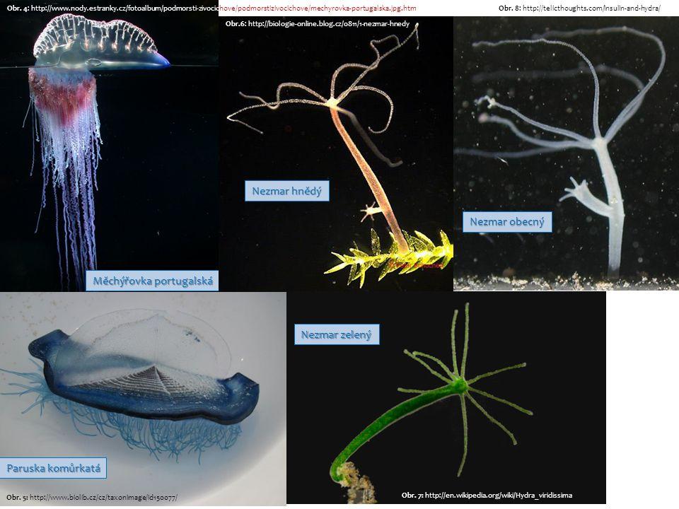 Medúzka sladkovodní Obr.