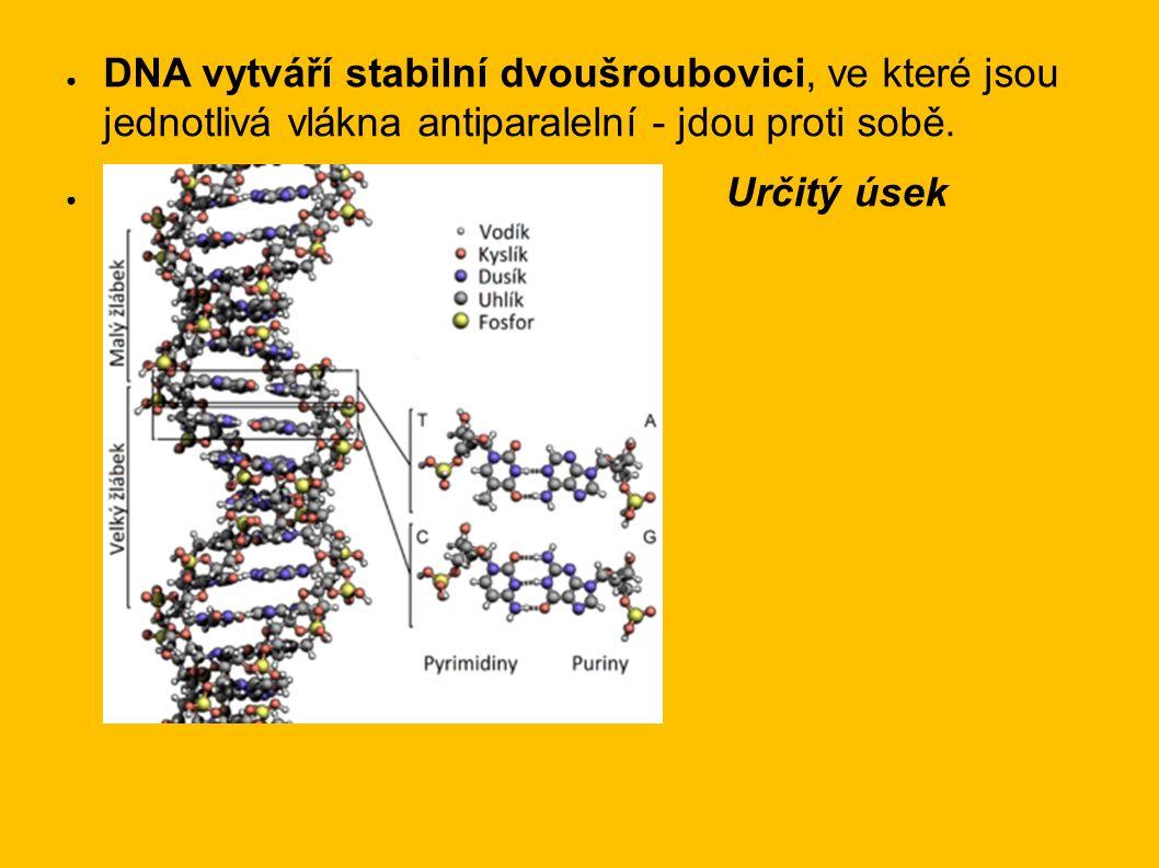 ● DNA vytváří stabilní dvoušroubovici, ve které jsou jednotlivá vlákna antiparalelní - jdou proti sobě.