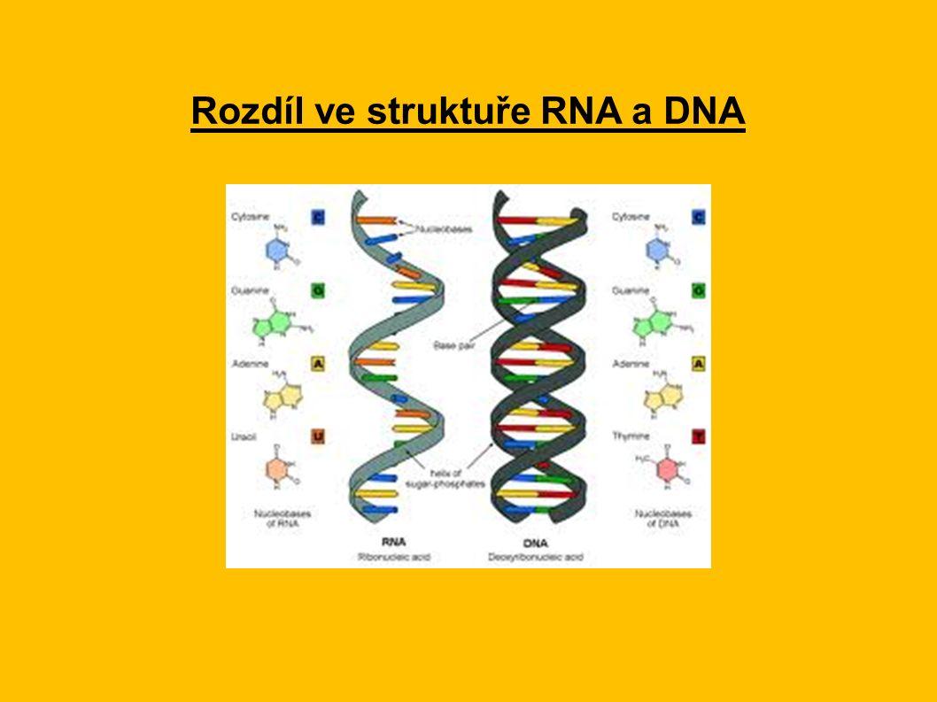 Rozdíl ve struktuře RNA a DNA