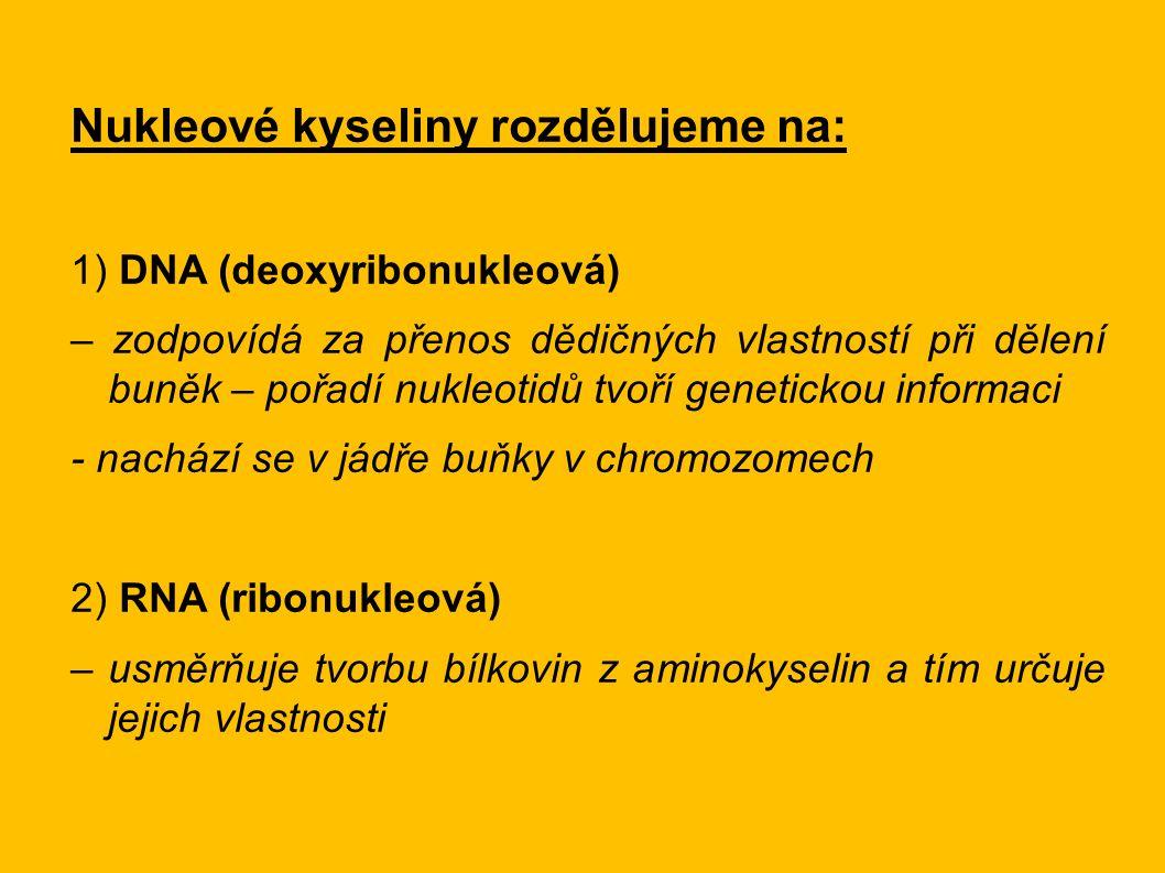 Nukleové kyseliny rozdělujeme na: 1) DNA (deoxyribonukleová) – zodpovídá za přenos dědičných vlastností při dělení buněk – pořadí nukleotidů tvoří genetickou informaci - nachází se v jádře buňky v chromozomech 2) RNA (ribonukleová) – usměrňuje tvorbu bílkovin z aminokyselin a tím určuje jejich vlastnosti