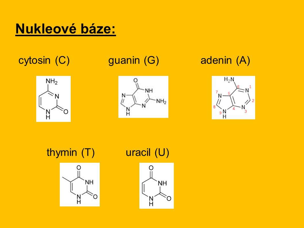 Nukleové báze: cytosin (C) guanin (G) adenin (A) thymin (T)uracil (U)