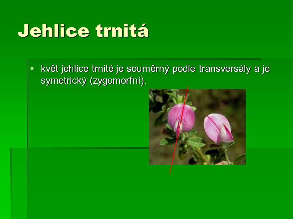 Jehlice trnitá  květ jehlice trnité je souměrný podle transversály a je symetrický (zygomorfní).