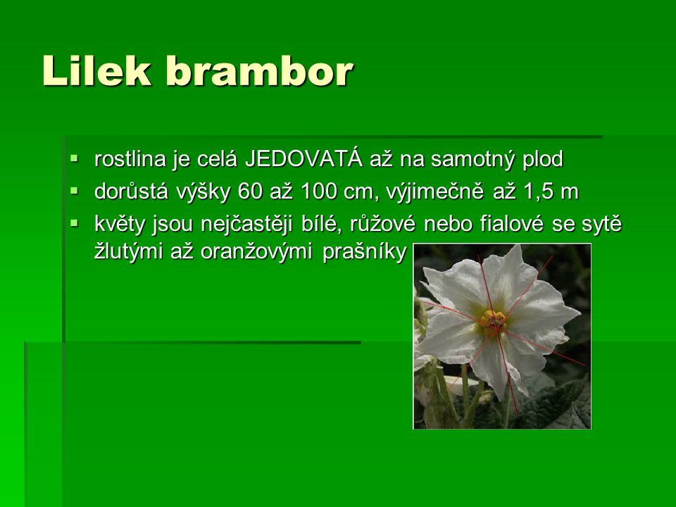 Lilek brambor  rostlina je celá JEDOVATÁ až na samotný plod  dorůstá výšky 60 až 100 cm, výjimečně až 1,5 m  květy jsou nejčastěji bílé, růžové nebo fialové se sytě žlutými až oranžovými prašníky