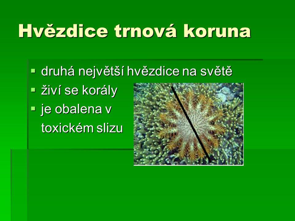 Hvězdice trnová koruna  druhá největší hvězdice na světě  živí se korály  je obalena v toxickém slizu