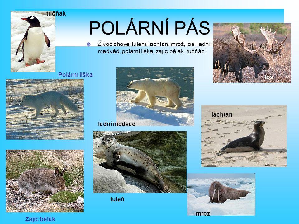 POLÁRNÍ PÁS Živočichové: tuleni, lachtan, mrož, los, lední medvěd, polární liška, zajíc bělák, tučňáci.