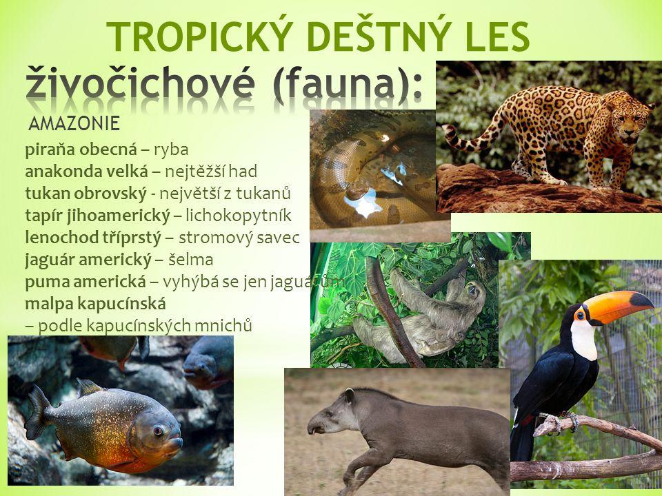 tukan obrovský - největší z tukanů anakonda velká – nejtěžší had puma americká – vyhýbá se jen jaguárům AMAZONIE malpa kapucínská – podle kapucínských mnichů