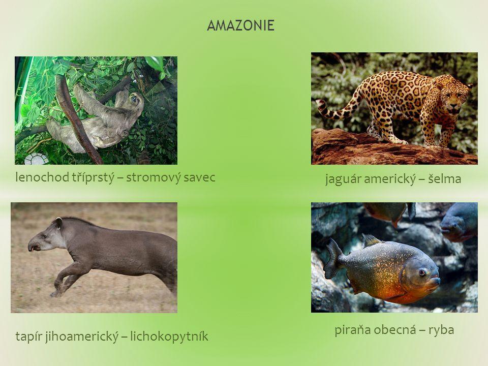 AMAZONIE lenochod tříprstý – stromový savec piraňa obecná – ryba jaguár americký – šelma tapír jihoamerický – lichokopytník