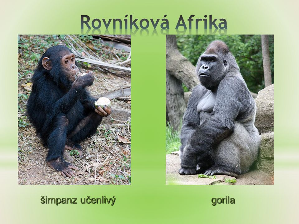 šimpanz učenlivý gorila šimpanz učenlivý gorila