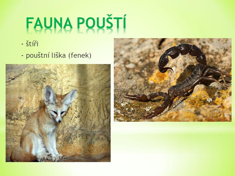 - štíři - pouštní liška (fenek)