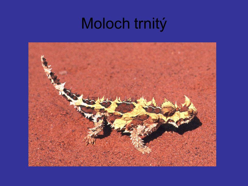 Moloch trnitý