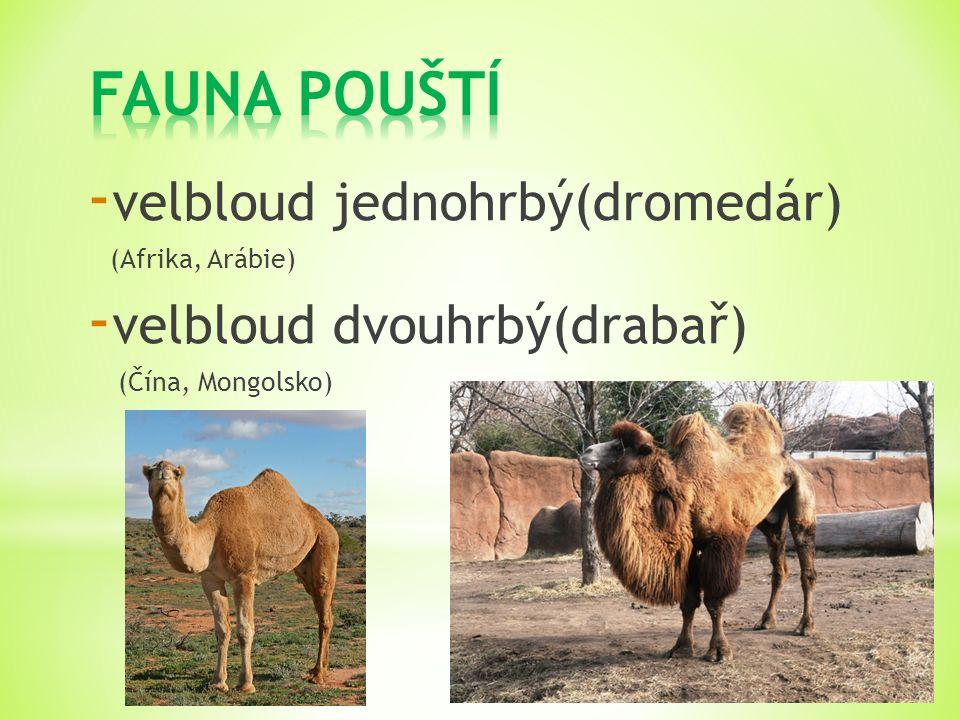 - velbloud jednohrbý(dromedár) (Afrika, Arábie) - velbloud dvouhrbý(drabař) (Čína, Mongolsko)