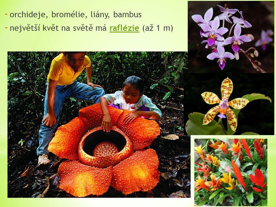 - orchideje, bromélie, liány, bambus - největší květ na světě má raflézie (až 1 m)