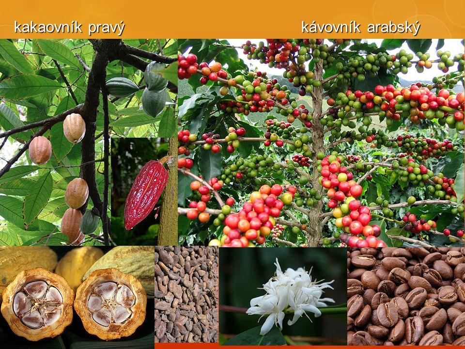 kakaovník pravý kávovník arabský kakaovník pravý kávovník arabský