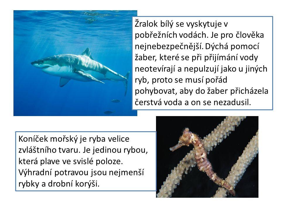 Žralok bílý se vyskytuje v pobřežních vodách. Je pro člověka nejnebezpečnější. Dýchá pomocí žaber, které se při přijímání vody neotevírají a nepulzují