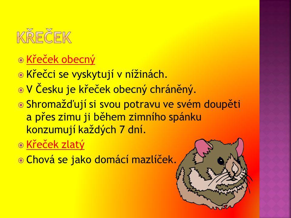  Křeček obecný  Křečci se vyskytují v nížinách.  V Česku je křeček obecný chráněný.  Shromažďují si svou potravu ve svém doupěti a přes zimu ji bě