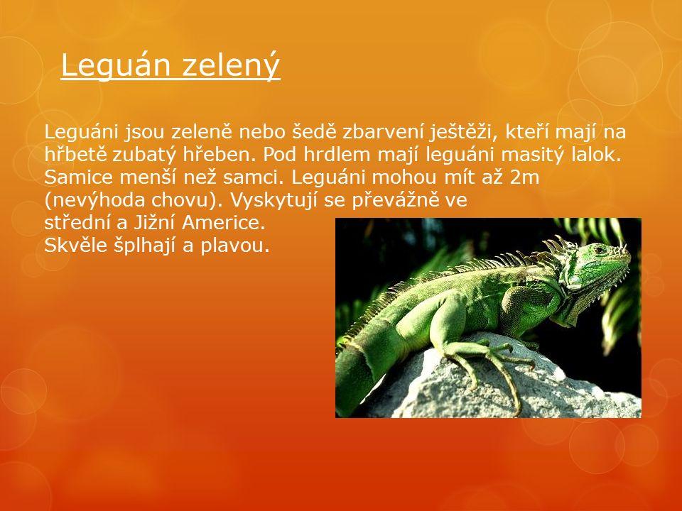 Leguán zelený Leguáni jsou zeleně nebo šedě zbarvení ještěži, kteří mají na hřbetě zubatý hřeben.