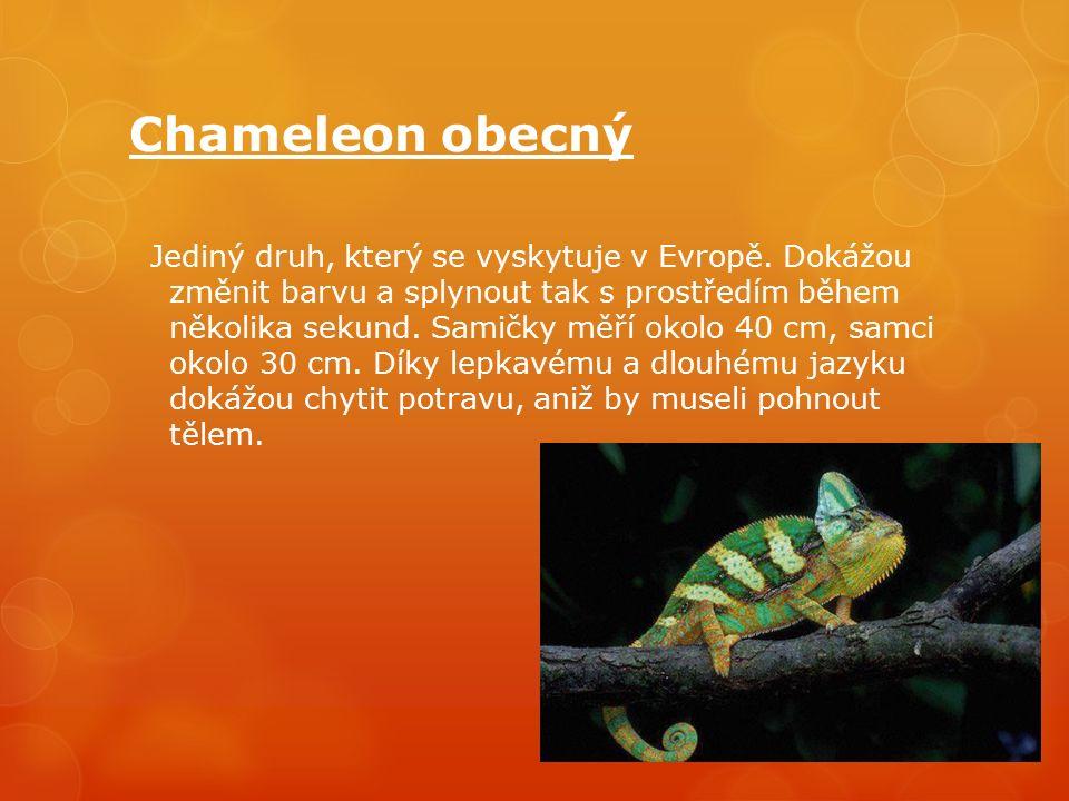 Chameleon obecný Jediný druh, který se vyskytuje v Evropě.
