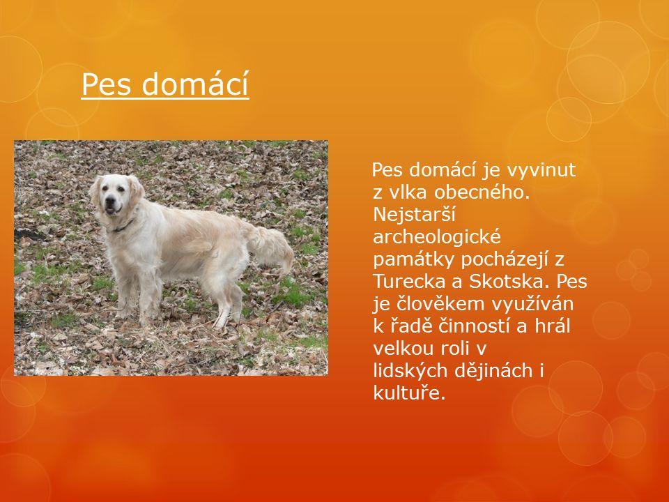 Pes domácí Pes domácí je vyvinut z vlka obecného.