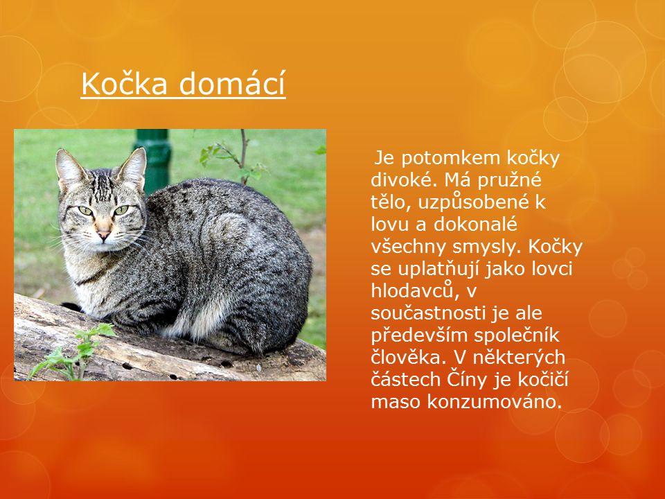 Kočka domácí Je potomkem kočky divoké. Má pružné tělo, uzpůsobené k lovu a dokonalé všechny smysly.