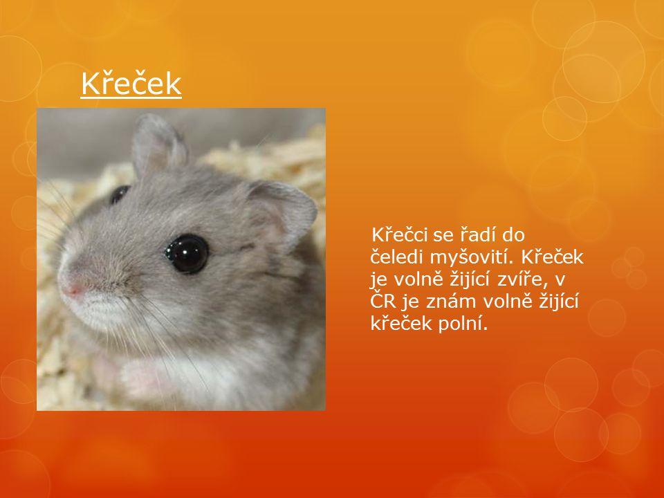 Křeček Křečci se řadí do čeledi myšovití.