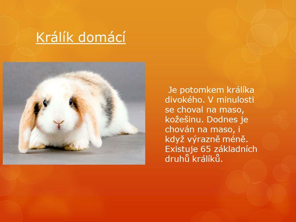 Králík domácí Je potomkem králíka divokého. V minulosti se choval na maso, kožešinu.