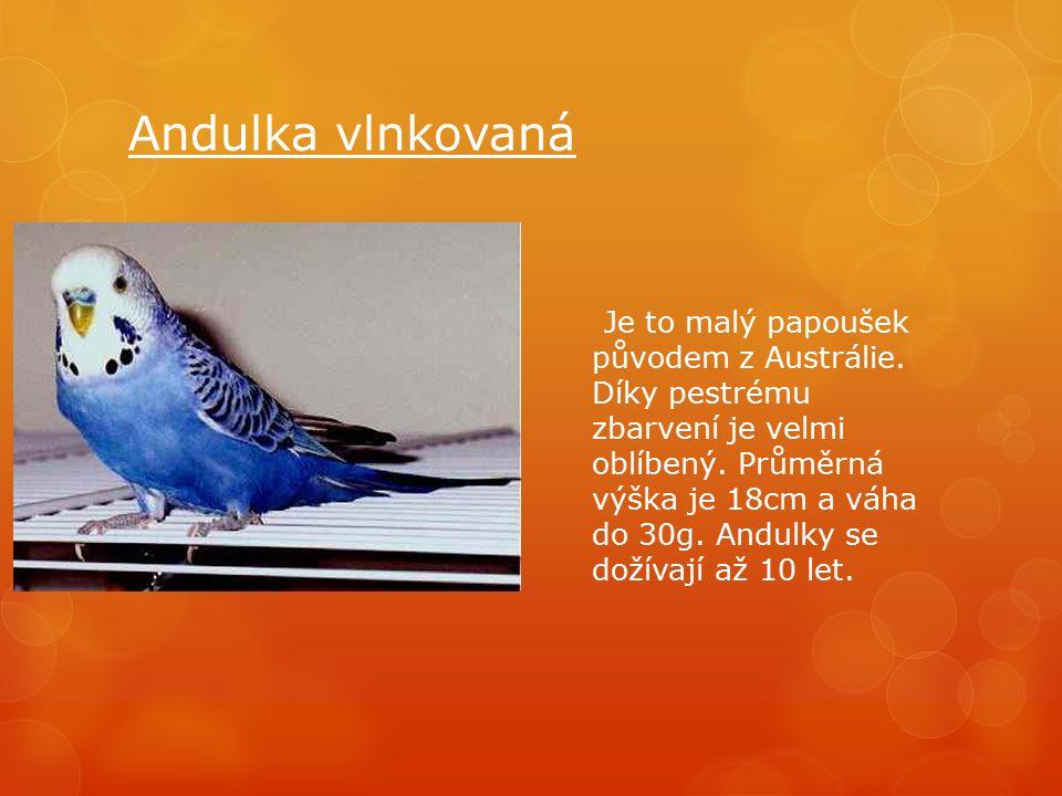 Andulka vlnkovaná Je to malý papoušek původem z Austrálie.