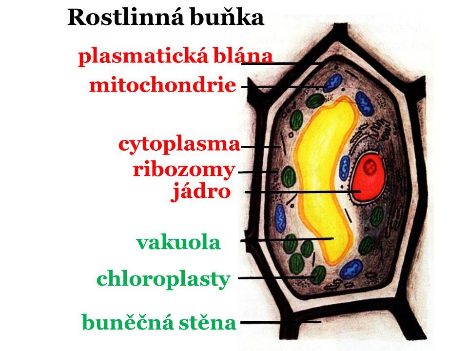 Rostlinná plasmatická blána mitochondrie cytoplasma ribozomy jádro vakuola chloroplasty buněčná stěna buňka