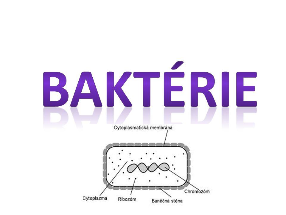 BAKTERIE o nejrozšířenější skupina organismů na světě o v půdě, ve vodě, v ovzduší i uvnitř a na povrchu mnohobuněčných organismů o osidlují prostředí, kde by ostatní organismy mohly přežívat jen stěží (vroucí voda v sopečných jezerech, nejvyšší vrstvy atmosféry, dokonce i ve vakuu a o teplotě - 270 °C) o studiem bakterií se zabývá bakteriologie, jejím zakladatelem je Robert Koch o velikost bakterií je velice rozmanitá - obvykle mezi desetinami a desítkami mikrometrů ( 1 mm = 1000 μm – mikrometrů) o jsou nezastupitelné ve svém významu pro koloběh látek při rozkladu mrtvé organické hmoty, jako symbiotické organismy či jako výrobní prostředek v biotechnologiích o některé bakterie způsobující choroby
