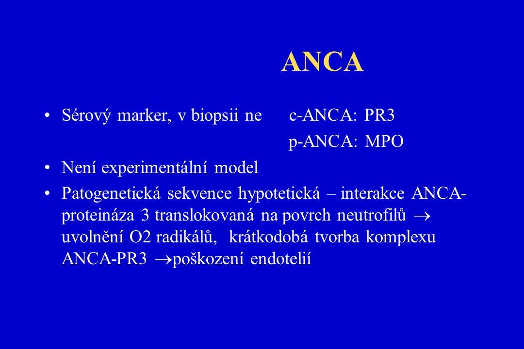 ANCA Sérový marker, v biopsii ne c-ANCA: PR3 p-ANCA: MPO Není experimentální model Patogenetická sekvence hypotetická – interakce ANCA- proteináza 3 translokovaná na povrch neutrofilů  uvolnění O2 radikálů,  krátkodobá tvorba komplexu ANCA-PR3  poškození endotelií