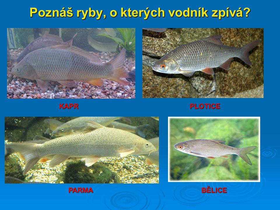 Poznáš ryby, o kterých vodník zpívá? KAPR BĚLICEPARMA PLOTICE
