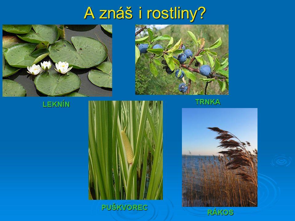 A znáš i rostliny? TRNKA RÁKOS PUŠKVOREC LEKNÍN