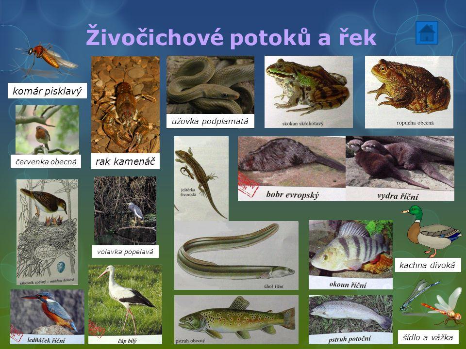 Živočichové potoků a řek volavka popelavá červenka obecná komár pisklavý rak kamenáč kachna divoká šídlo a vážka užovka podplamatá