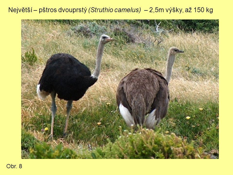 Největší – pštros dvouprstý (Struthio camelus) – 2,5m výšky, až 150 kg Obr. 8