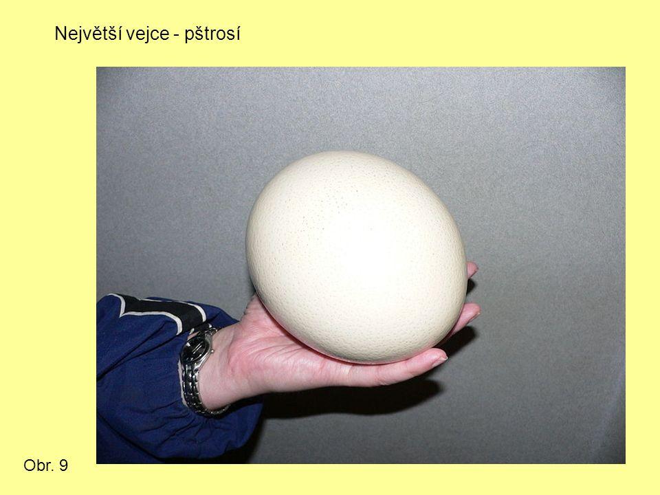 Největší vejce - pštrosí Obr. 9