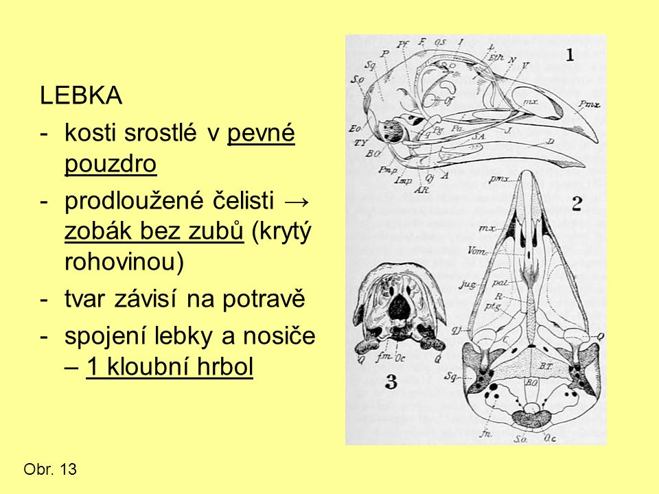 LEBKA -kosti srostlé v pevné pouzdro -prodloužené čelisti → zobák bez zubů (krytý rohovinou) -tvar závisí na potravě -spojení lebky a nosiče – 1 kloubní hrbol Obr.