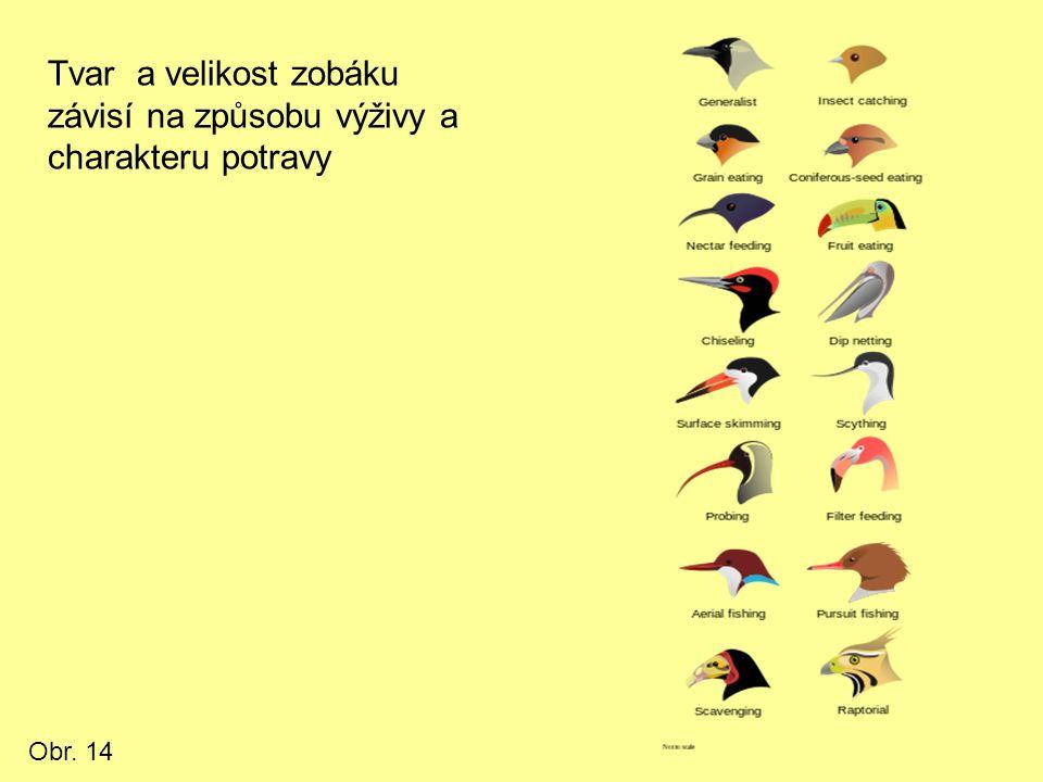 Tvar a velikost zobáku závisí na způsobu výživy a charakteru potravy Obr. 14