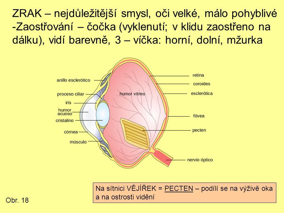 ZRAK – nejdůležitější smysl, oči velké, málo pohyblivé -Zaostřování – čočka (vyklenutí; v klidu zaostřeno na dálku), vidí barevně, 3 – víčka: horní, dolní, mžurka Na sítnici VĚJÍŘEK = PECTEN – podílí se na výživě oka a na ostrosti vidění Obr.