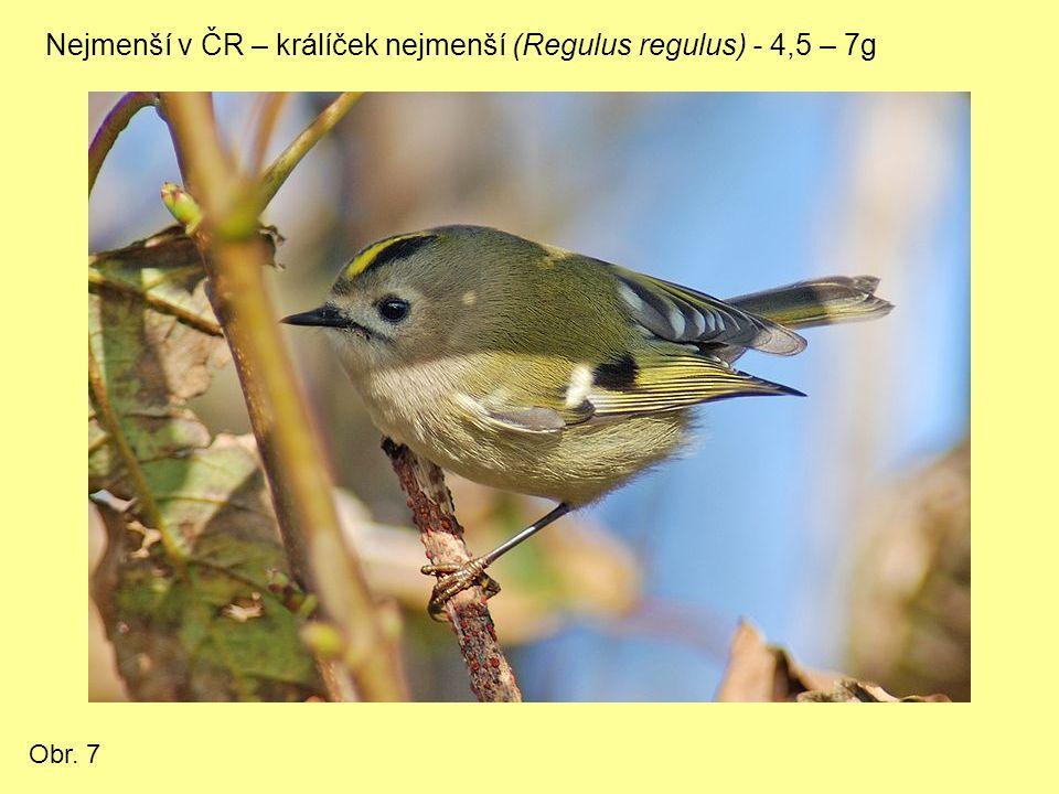 Nejmenší v ČR – králíček nejmenší (Regulus regulus) - 4,5 – 7g Obr. 7