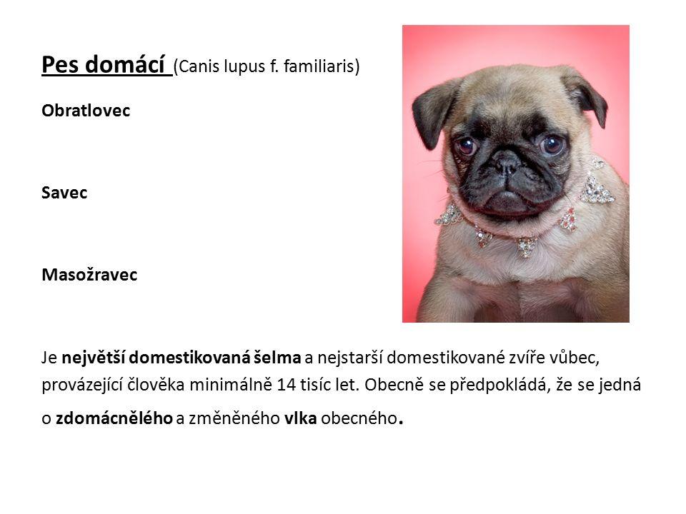 Pes domácí (Canis lupus f.