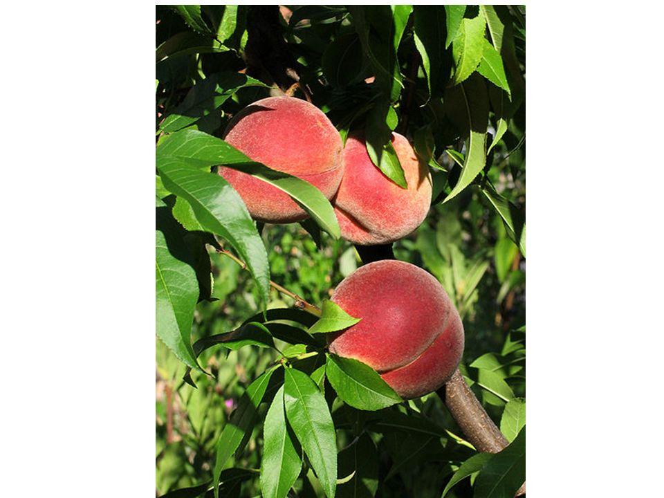 Poznáš i ovocné keře z našich zahrad? NÍK Č