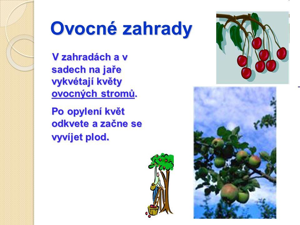 Ovocné zahrady V zahradách a v sadech na jaře vykvétají květy ovocných stromů.