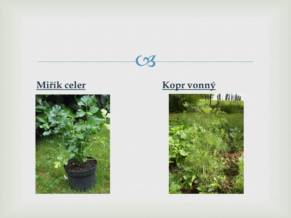 Zástupci: Mrkev obecnáPetržel zahradní