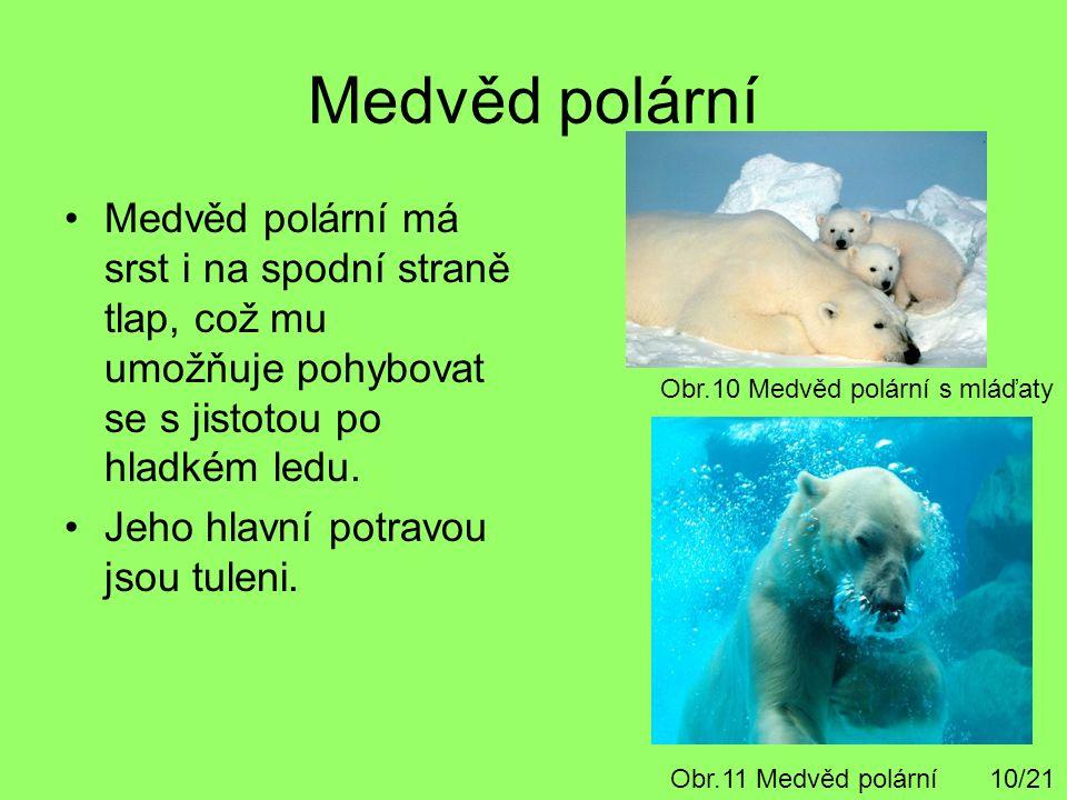 Medvěd polární Medvěd polární má srst i na spodní straně tlap, což mu umožňuje pohybovat se s jistotou po hladkém ledu. Jeho hlavní potravou jsou tule