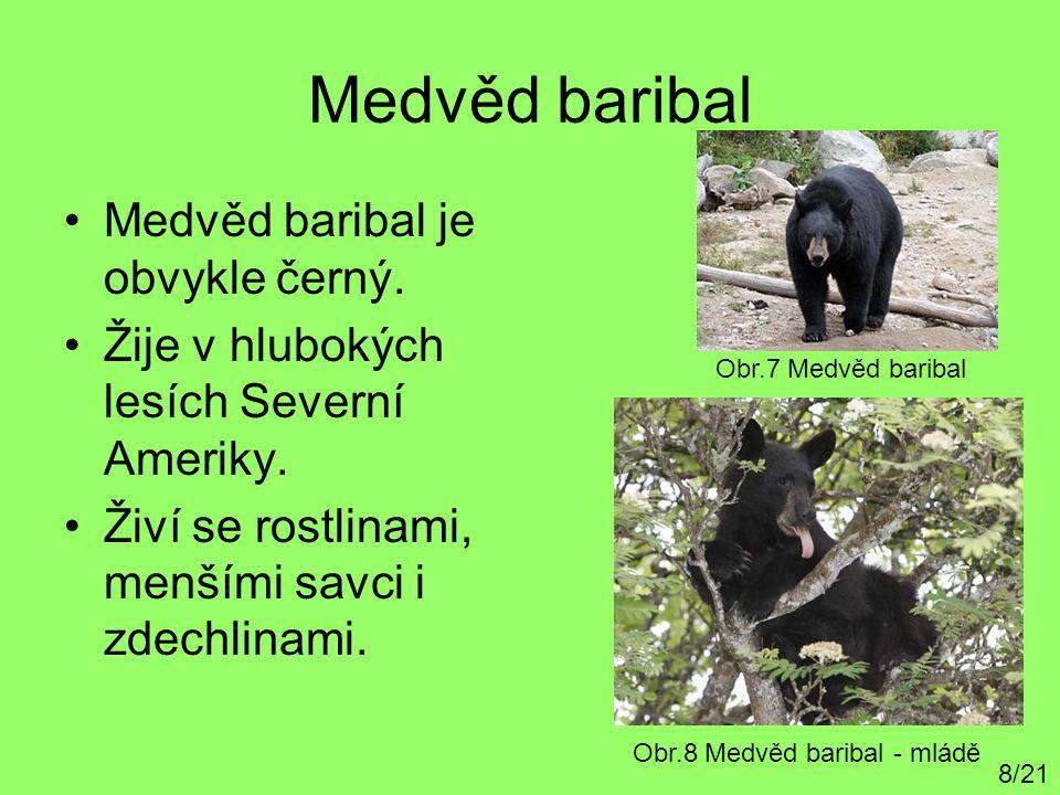 Medvěd baribal Medvěd baribal je obvykle černý. Žije v hlubokých lesích Severní Ameriky. Živí se rostlinami, menšími savci i zdechlinami. 8/21 Obr.7 M