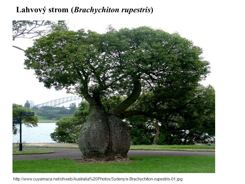 Lahvový strom (Brachychiton rupestris) http://www.cuyamaca.net/ohweb/Australia%20Photos/Sydeny/x-Brachychiton-rupestris-01.jpg
