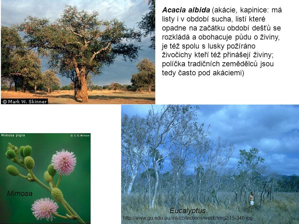 Eucalyptus http://www.gu.edu.au/ins/collections/webb/img2/15-34b.jpg Mimosa Acacia albida (akácie, kapinice: má listy i v období sucha, listí které opadne na začátku období dešťů se rozkládá a obohacuje půdu o živiny, je též spolu s lusky požíráno živočichy kteří též přinášejí živiny; políčka tradičních zemědělců jsou tedy často pod akáciemi)