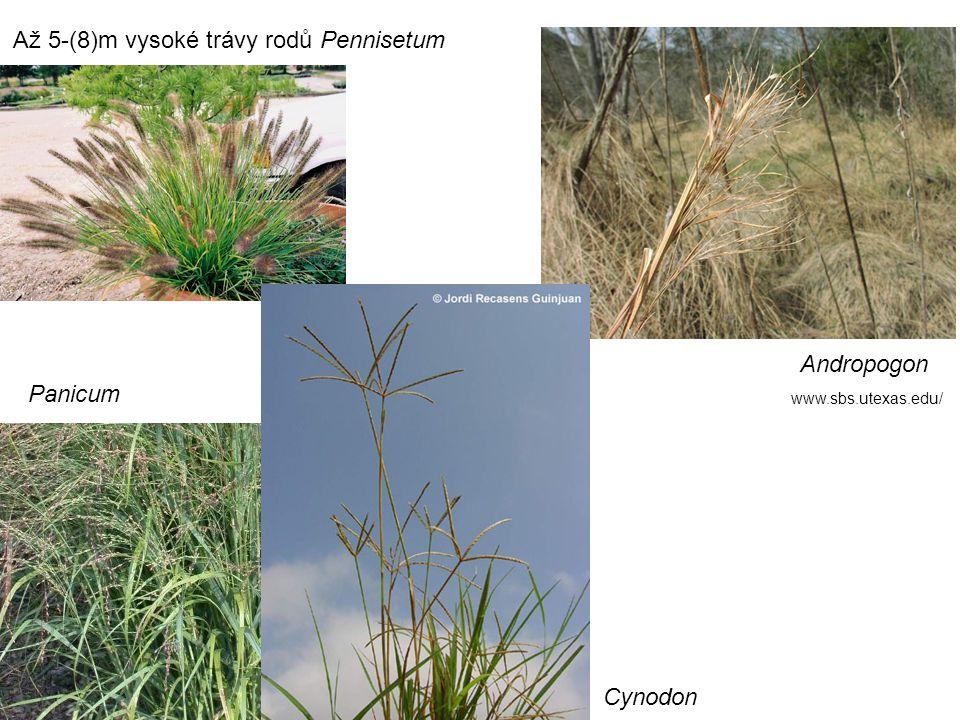 Až 5-(8)m vysoké trávy rodů Pennisetum Andropogon Panicum Cynodon www.sbs.utexas.edu/