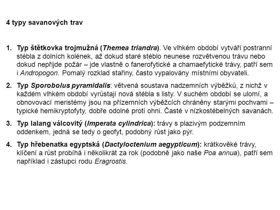 4 typy savanových trav 1.Typ štětkovka trojmužná (Themea triandra). Ve vlhkém období vytváří postranní stébla z dolních kolének, až dokud staré stéblo