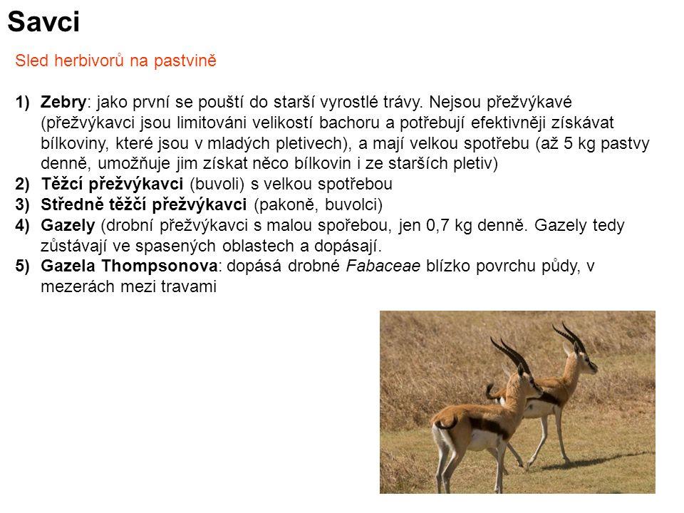Savci Sled herbivorů na pastvině 1)Zebry: jako první se pouští do starší vyrostlé trávy. Nejsou přežvýkavé (přežvýkavci jsou limitováni velikostí bach
